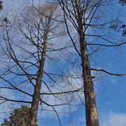 Zweier-Gruppe von Urweltmammutbäumen, zu dichter Stand führt zu vorzeitigem Abwurf der unteren Äste