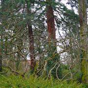 Mespilus germanica mit süntelbaumartigen Wuchs unter hohem Baumbestand (Gleditschie, Bergmammutbaum)