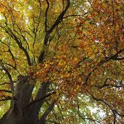 Kronenblick, Foto Kuhlen, Aufnahme-Datum Herbst 2015