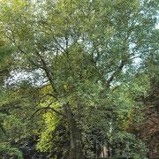 Habitus im Herbstaspekt, Foto H.Kuhlen, Aufnahme-Datum 19.09.2013