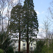 Zweier-Gruppe von Riesen-Mammutbäumen, linker Baum verkürzt duch Wipfelschaden