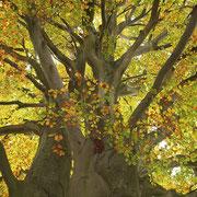 Kronenansatz, Foto Kuhlen, Aufnahme-Datum Herbst 2015