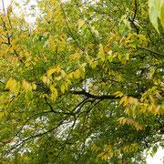 Zweig-Partie mit beginnender Herbstfärbung, Foto HK.; Aufnahme-Datum: 17.10.2018