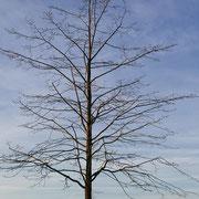 Neu gepflanzte Linde, Foto H.Kuhlen, Aufnahmedatum, 29.12.2015