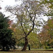 Trompetenbaum als Solitär im Park, Foto H.Kuhlen, Aufnahme-Datum 01.11.2007