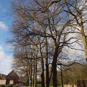 Baumreihe Quercus robur im Winteraspekt, Foto H.Kuhlen, Aufnahme-Datum 04.02.2016