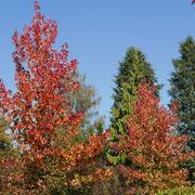 Liquidambar styraciflua im Herbstlaub, das Farbspektrum reicht von hellgelb bis violett, rot und orange