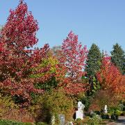 Liquidambar styraciflua im bunten Herbstlaub, die Blattfärbung setzt früh ein