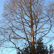 Einzelbaum mit größerem Kronenvolumen hinter eine Eibe