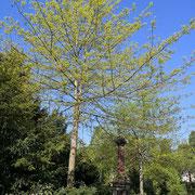 Frühjahrshabitus 1. Blatt-Austrieb und Blüte, 13.05.2021