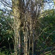 Austrieb aus dem Stammansatz, typisches Kennzeichen vegetativ gezogener Bäume, Foto H.Kuhlen, Aufnahmedatum 12.04.2016