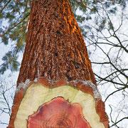 Fotomontage Stammquerschnitt,  Abbildung von innen nach aussen, Kernholz rot, Splintholz hell und Borke