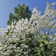 Reinweisse Blüten im Kontrast mit den grünen Koniferen. 13.05.2021