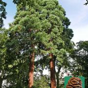Habitus einer Zweier-Baumgruppe zu einem einheitlichen Kronenbild gewachsen.  Zapfen