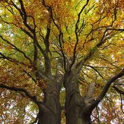 Von zwei Stämmen ausgehende Krone, Foto H.Kuhlen, Aufnahme-Datum Herbst 2015