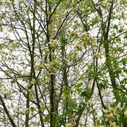 Kronenpartie mit Blüten, 04.04.2019