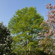 Cercidiphyllum (Bildmitte) mit Magnolia soulangeana (rechts) und Sorbus (links) 03.04.2021