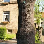 Stamm mit Naturdenkmal-Schild, Foto H.Kuhlen, Aufnahme-Datum 01.05.2008