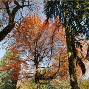 Krone im Herbstaspekt