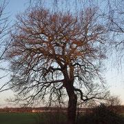 Habitus, Ansicht im Winteraspekt bei aufgehender Sonne; Foto H. Kuhlen, Aufnahme-Datum 08.01.2016