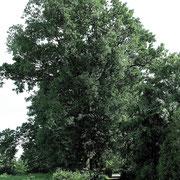 Baumreihe Quercus robur im Frühlingsaspekt, Foto H.Kuhlen, Aufnahme-Datum 07.04.2016