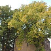 Habitus Winterlinde (Bildmitte) beginnende Herbstfärbung, links Silberlinde, Foto H.Kuhlen Aufnahme-Datum 06.10.2013