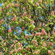 Kronenpartie in der Blüte
