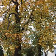 Baumkrone mit Blattschäden durch Rosskastanien-Minier-Motte, Foto Heinz Kuhlen, Aufnahme-Datum: 22. 10.2013