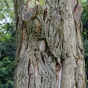 Stammschaden an Robinia pseudoacacia Frisia, Foto HK.; Aufnahme-Datum: 05.09.2018