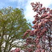 Cercidiphyllum und Magnolia im Frühjahrsaspekt,03.04.2021