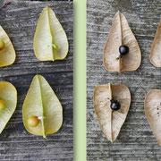 Aufgeschnittene Kapseln mit unterschiedlichen Reifestadien der Samen