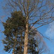 Koniferengruppe mit mehreren Urweltmammutbäumen im Voder-und Hintergrund