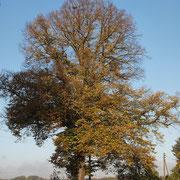 Habitus im Herbstaspekt, Foto H.Kuhlen, Aufnahmedatum 24.10.2013