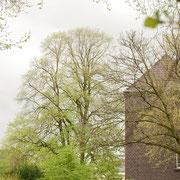 Krone im Größenvergleich zum Gebäude der Grundschule, Foto Heinz.Kuhlen, Aufnahme-Datum: 06.04.2017