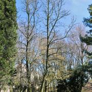 Zweistämmiger Amberbaum im unbelaubten Frühjahrshabitus, Foto HK., Aufnahme-Datum: 27.03.2018