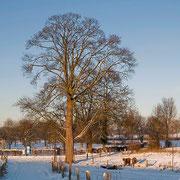 Bergahorn im Winter, Foto H.Kuhlen, Aufnahme-Datum 06.01.2009