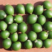 Grüne Steinfrüchte, Foto HK.; Aufnahme-Datum: 31.05.2014