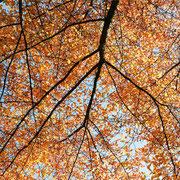 Blick in eine Astpartie mit Herbstlaub