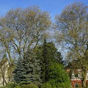 Gesamtansicht im Frühjahr mit  3 Natur-Denkmalen, 2 Platanen, 1 Rosskastanie hinter eine Koniferengruppe, Foto H.Kuhlen, Aufnahme-Datum 05.05.2016