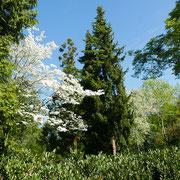 Cornus florida im Blühaspekt. 13.05.2021