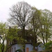 Habitus im Frühjahr, Bildmitte Winterlinden, rechts im Hintergrund Silberlinde mit Frühjahrsaustrieb, Foto H.Kuhlen, Aufnahme-Datum 26.04.2008