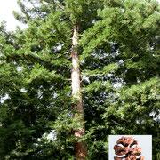 Habitus Nordseite im Gehölz-Bestand, mit reifen, verholzten Zapfen nach Samenausfall