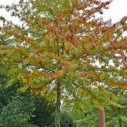 Beginnende Herbstfärbung, 08.10.2017