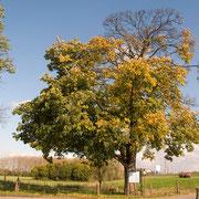 Bergahorn im Herbst, Foto H.Kuhlen, Aufnahme-Datum 28.10.2008