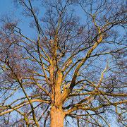 Baumkrone im Winter, Foto H.Kuhlen, Aufnahme-Datum 06.01.2009