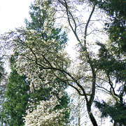 Magnolia kobus `Borealis´, starkwachsende Baummagnolie im frühzeitigen Blühstadium März/April l
