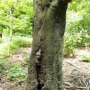 Stammabschnitt mit Höhlung und Wundholzbildung. Foto H.Kuhlen, Aufnahme-Datum 23.05.2008
