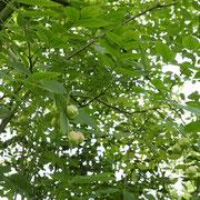 Kronenpartie mit Fruchtansatz
