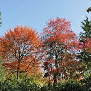 Habitus zweier Bäume im Herbstaspekt