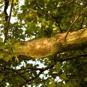 Nest des Eichenprozessionsspinners an Ast-Unterseite, Foto H.Kuhlen, Aufnahme-Datum 17.06.2009